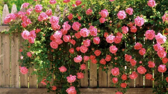 Клайминги считаются одними из лучших растений для декора